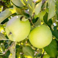 Rasadnik jabuka mutsu