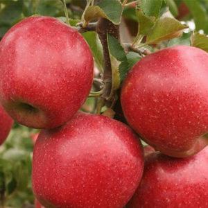 Sadnice jabuka Ajdared