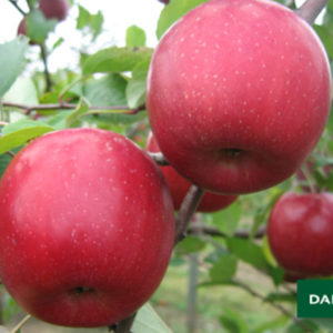 Sadnice jabuka fuji