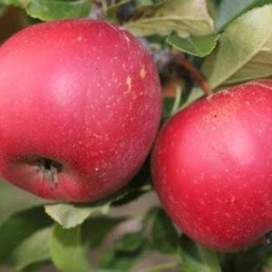 Sadnice jabuka Gala