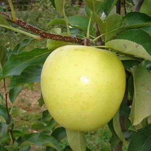 Sadnice jabuka zlatni delises