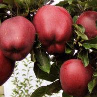 Vocne sadnice jabuka Crveni delises