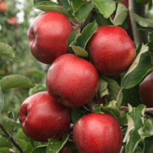 Rasadnik jabuka Jonagold