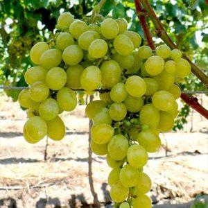 Sadnice vinova loza Afus Ali