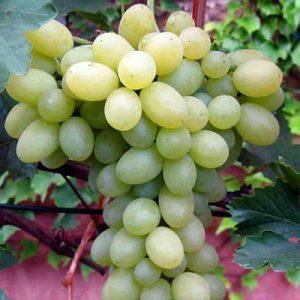 Sadnice vinova loza Beogradska besemena