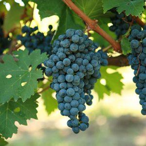 Sadnice vinova loza Cabernet Sauvignon