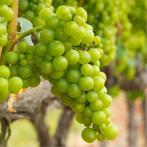 Sadnice vinova loza Chardonnay