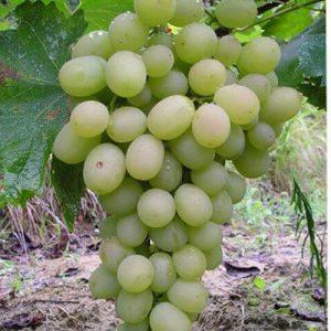 Sadnice vinova loza Lasta