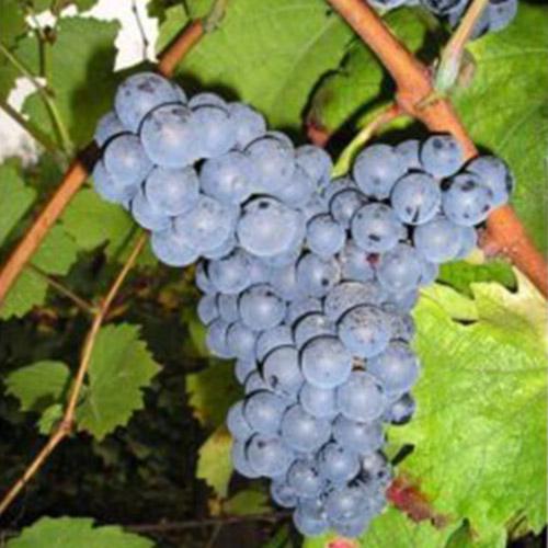 Sadnice vinova loza Ljana