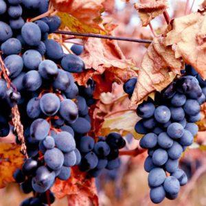 Sadnice vinova loza Moldova