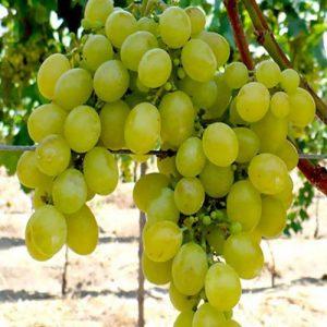 Sadnice vinova loza Muscat Italy