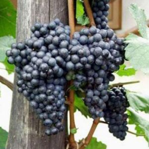 Sadnice vinova loza Plovdina