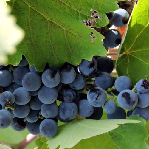 Sadnice vinova loza Prokupac