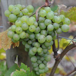 Sadnice vinova loza Sauvignon blanc