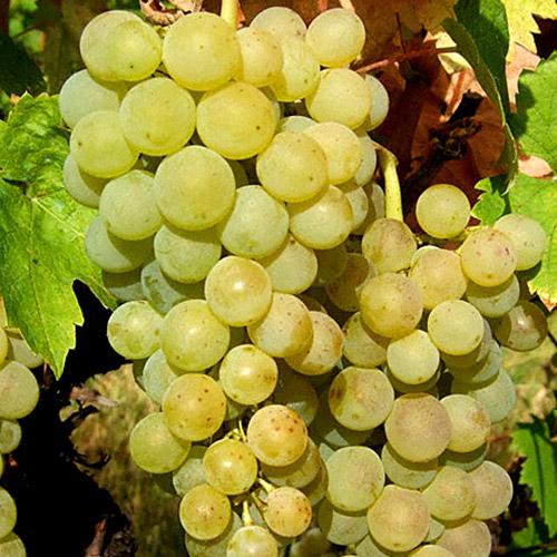 Sadnice vinova loza Smederevka