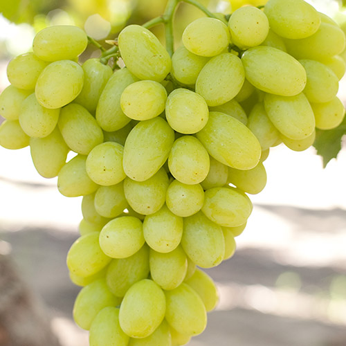 Sadnice vinova loza Victoria