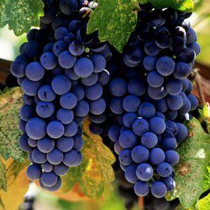 Sadnice vinova loza Vranac