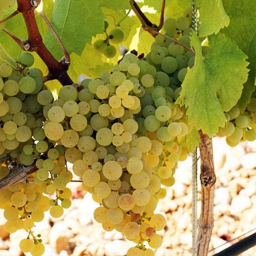 Sadnice vinova loza Žilavka