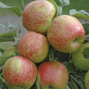 Voćne sadnice jabuka Braeburn