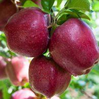Vocne sadnice jabuka Top Red