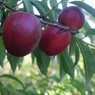 Voćne sadnice nektarina Caldesi