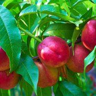 Vocne sadnice nektarina Fantasy