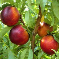 Voćne sadnice nektarina Independance