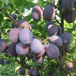 Voćne sadnice šljiva Čačanska rana