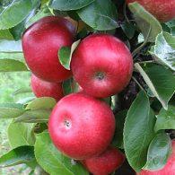 Voćne sadnice stubasta jabuka Kraljica Čardaša