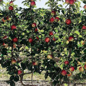 Voćne sadnice stubasta jabuka Rumeno vreteno