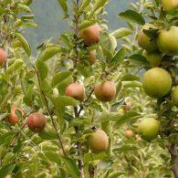 Voćne sadnice stubasta jabuka Smaragd