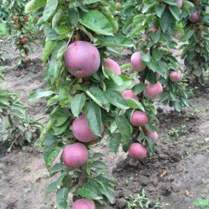 Voćne sadnice stubasta jabuka Vesna