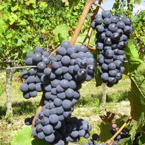 Lozni kalem crna vinska sorta Frankovka