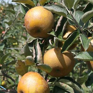 Rasadnik jabuka Kozara