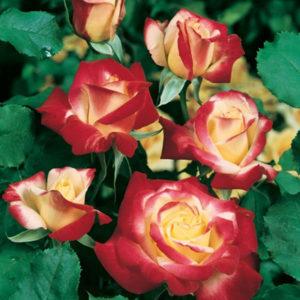 Ruža Čajevka Dabl Dilajt