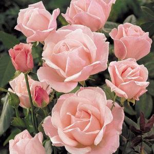 Ruža Čajevka Elizabet