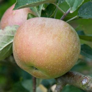 Sadnice jabuka Budimka