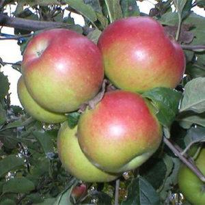 Sadnica jabuka Šumatovka
