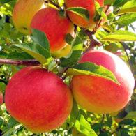 Sadnice jabuke Čadel