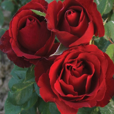 Sadnice ruža čajevka Grand gala