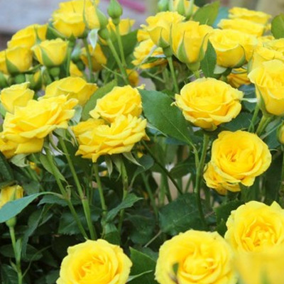 Sadnice ruza Polijante Mini Yellow