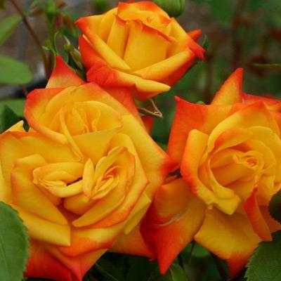 Sadnice ruža Polijante Samba