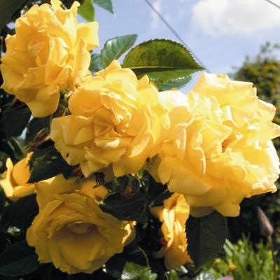 Sadnice ruža Puzavice - Dukat
