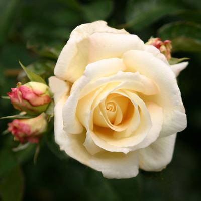 Sadnice ruža Puzavice - Švaneze