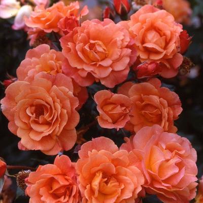 Sadnice ruža puzavice - Vesterlend