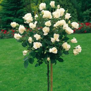 Sadnice ruza stablasica - Marija Antoaneta