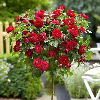 Sadnice ruza stablasica - Nina Vejbul