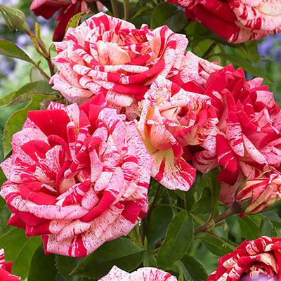 Sadnice ruza stablasica - Papageno