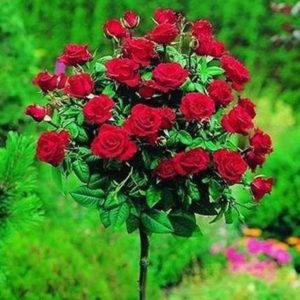 Sadnice ruza stablasica - Perla