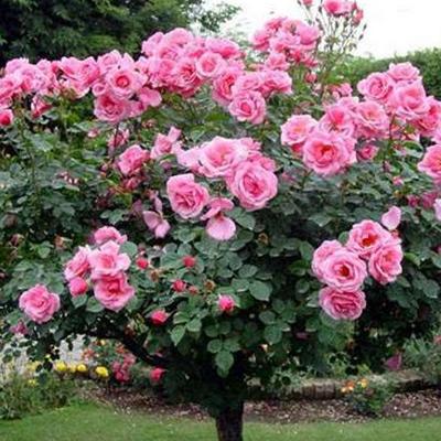 Sadnice ruza stablasica - Pink